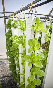 A vertical farming installation, white poles with leafy green lettuce growing from them.